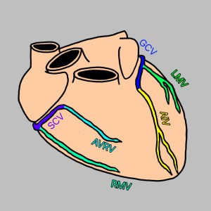 冠静脈,冠動脈