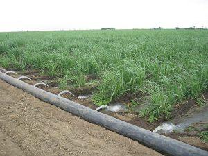 800px-furrow_irrigated_sugar