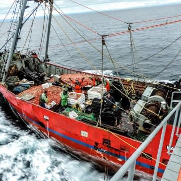 Los desembarques de langostino alcanzaron las 220 mil toneladas