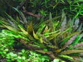 cryptocoryne-wendtii-brown