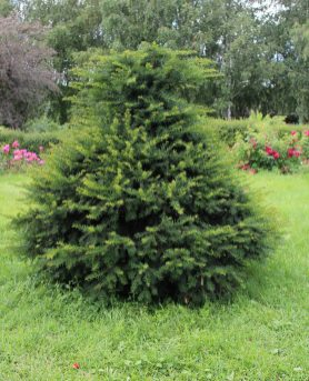 Zone 8 Conifer Varieties Learn About Coniferous Trees For Zone 8 with regard to ucwords]