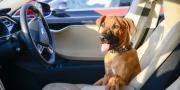 Evcil hayvanları güvende tutan Tesla Dog Mode!