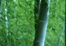 JAPANSKA MOKSIBUSTIJA Stabljika bambusa može se upotrijebiti i ovako…
