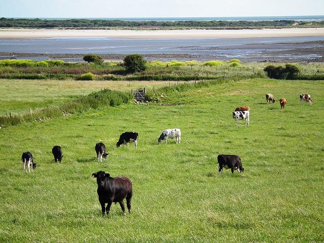 cows-1013108_640