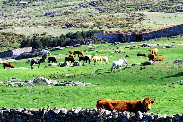 cows-1404348_640