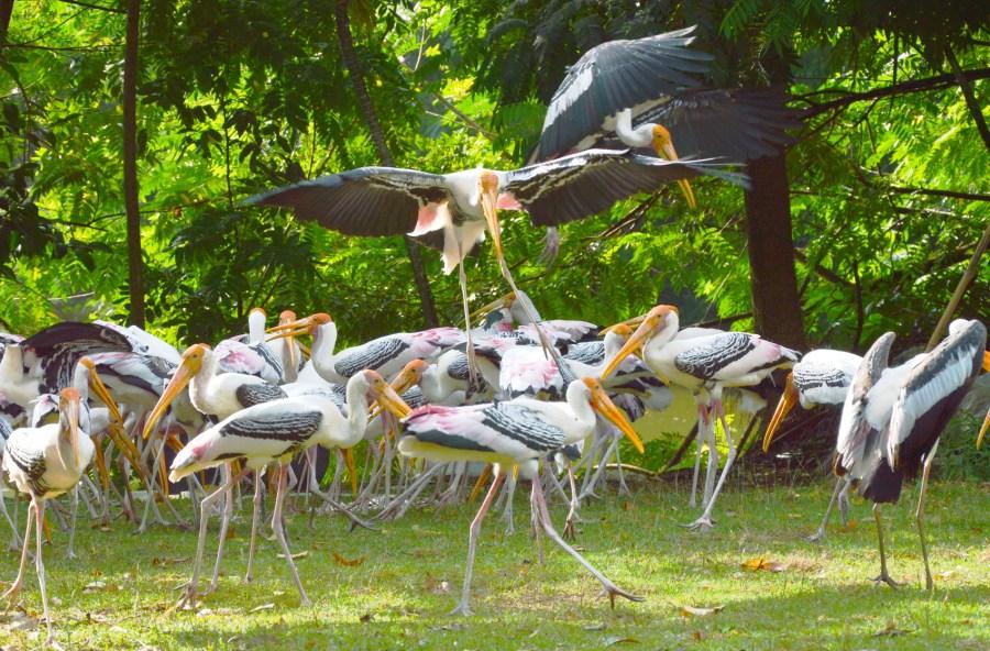 painted stork feeding fish