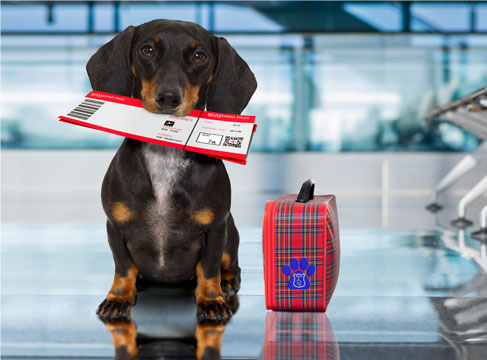 black and tan mini dachshund service dog holding boarding pass in mouth