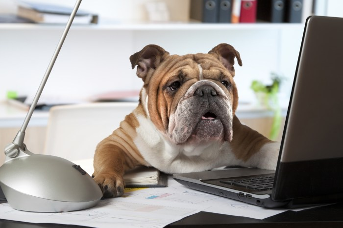 service dog sitting at desk working on laptop computer