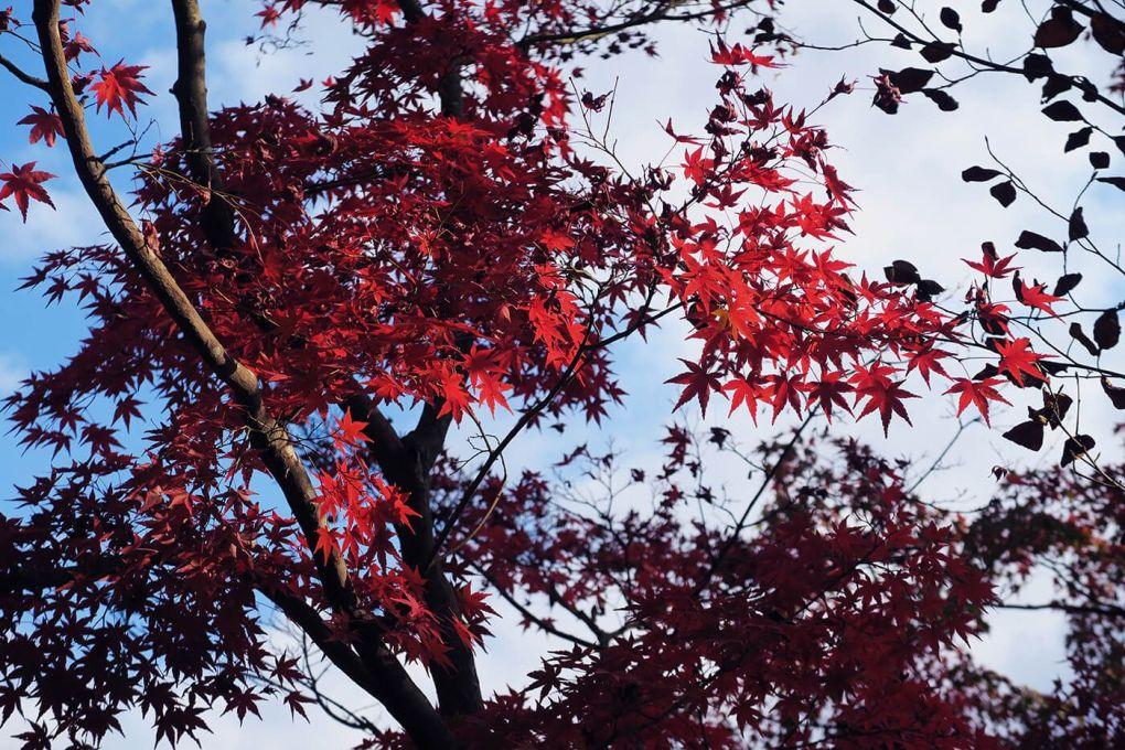 Arces japoneses con las hojas rojas en pleno otoño en Kioto, Japón
