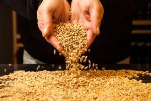 Grano ecológico para elaboración en Gabarrera