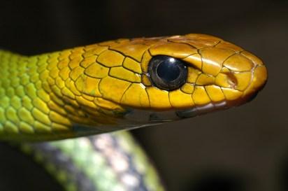 Ishan Agarwal. Ptyas nigromarginatus. 2005. Eaglenest Wildlife Sanctuary, Arunachal.