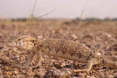 Ishan Agarwal. Varanus griseus. 2007. Sam, Jaisalmer District, Rajasthan.