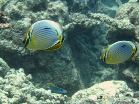 Anne H. Theo. Chaetodon trifasciatus (Redfin Butterflyfish). 2011. Lakshadweep.