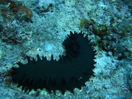 Anne H. Theo. Holothurian, Sea Cucumber. 2011. Lakshadweep.