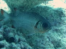Anne H. Theo. Myripristis adusta, Bronze Soldierfish. 2011. Lakshadweep.