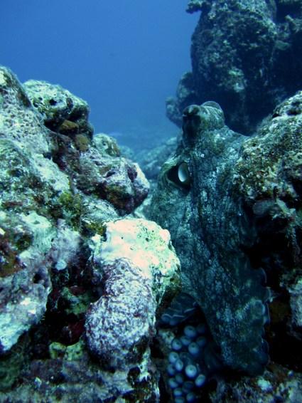 Anne H. Theo. Octopus. 2011. Lakshadweep.