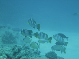 Anne H. Theo. Sweetlips and Snappers. 2011. Lakshadweep.