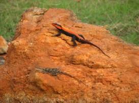Shreekant Deodhar. Psammophilus dorsalis pair. 2010. Rishi Valley.