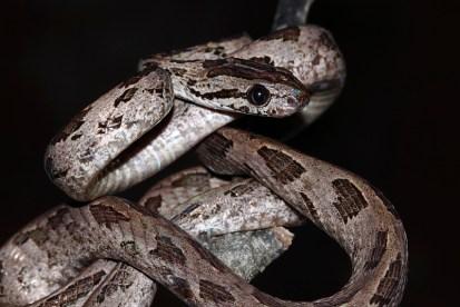 Ashok Kumar Mallik. Large-spotted Cat Snake. 2011. Namdapha.