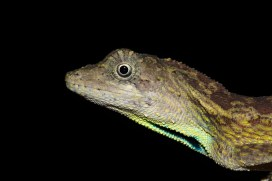 Ashok Kumar Mallik. Blue-throated Forest-Lizard. 2011. Nokrek, Arunachal.