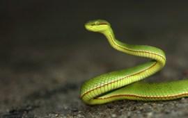 Ashok Kumar Mallik. Green Pit Viper. 2012. Assam.
