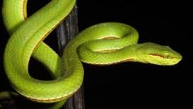 Ashok Kumar Mallik. Green pitviper. 2012. Assam.
