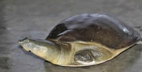 Ashok Kumar Mallik. Indian Flapshell Turtle. 2012. IISc, Bangalore.