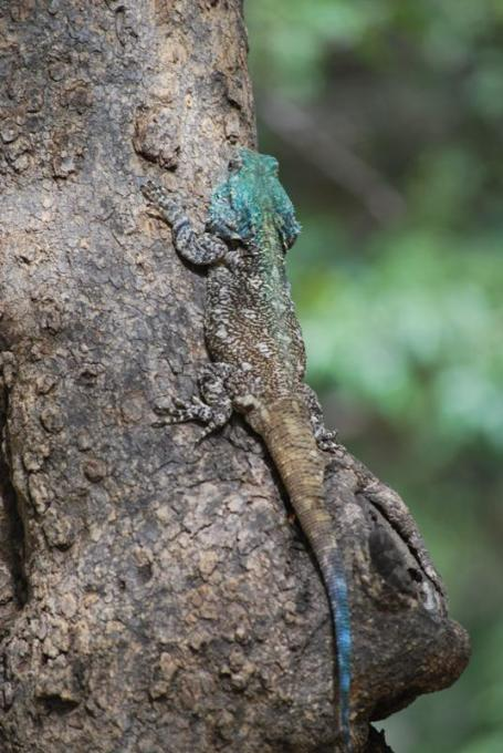 Maria Thaker. Southern tree agama. Kruger.