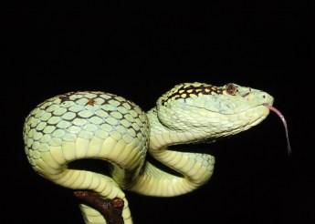 Saunak Pal. Malabar Pit Viper (Trimeresurus malabaricus). 2008. Amboli, Maharashtra.