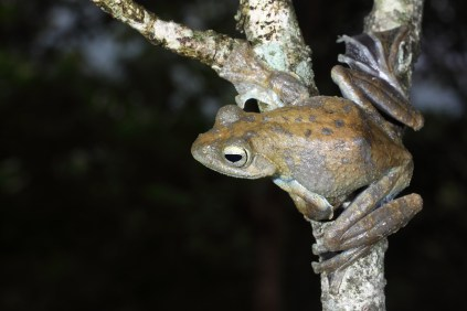 Saunak Pal. Rhacophorus calcadensis. 2011. Agasthyamalai hills, TN.