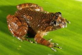 Saunak Pal. Nyctibatrachus poocha. 2011. Anamalai hills, TN.
