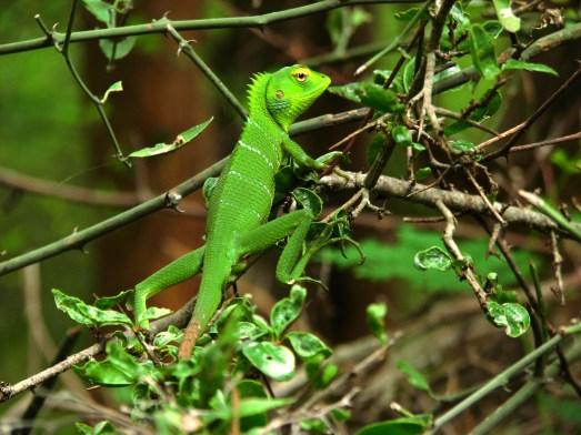 Souvik Mandal. Green Garden Lizard. 2008. Tirunelveli