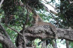Nachiketh SR. MTR. Leopard. 2012.