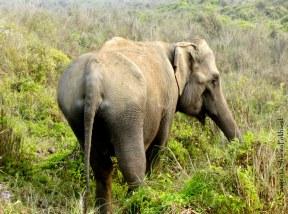 Sanjeeta Sharma Pokharel. Asian Elephant. 2011. Sauraha, Nepal.