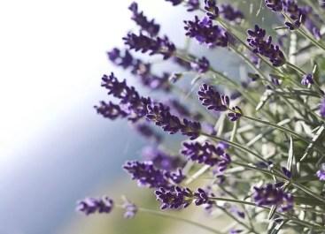 lavender-524504_960_720