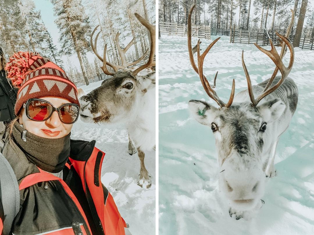 Mon voyage en Laponie : rencontre avec les rennes
