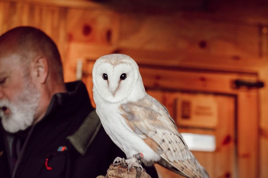 Raodtrip et activités famille en Ecosse : la chouette effraie de Highland Safaris, dans les Cairngorms