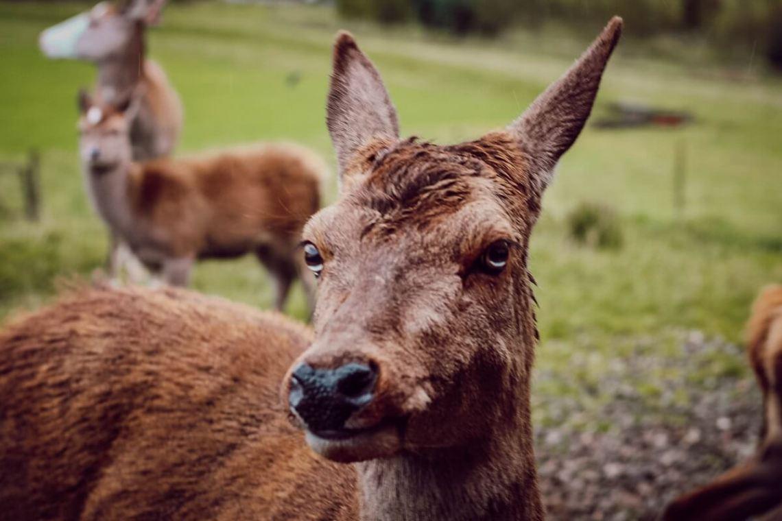 Activité en famille pour un roadtrip en Ecosse : nourrir les rennes au Red Deer center de Highland Safaris, dans les Cairngorms