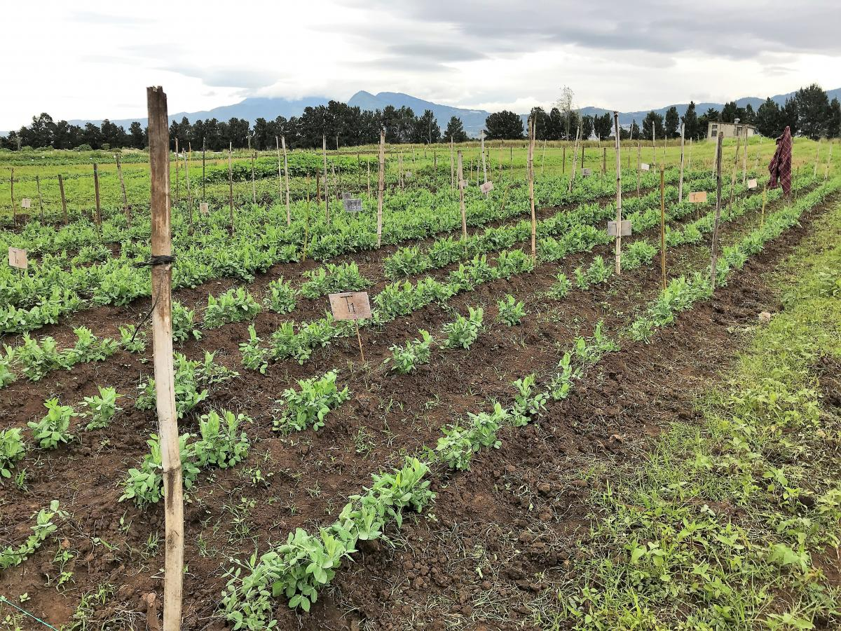Ensayos experimentales de estudiantes del Curso de Estadística Aplicada a la Producción Agrícola