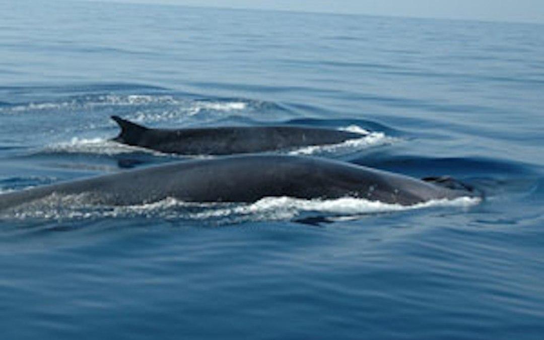 Une baleine et son balaineau rorqual commun
