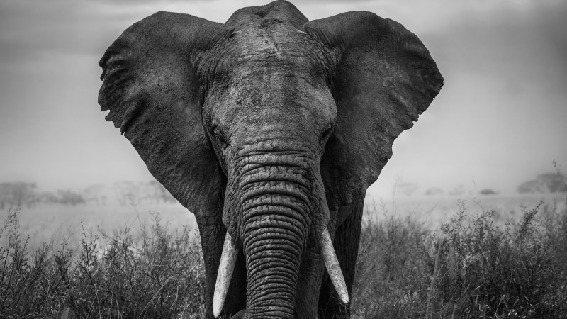 Why is an Elephant?