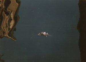Eine tote Ratte schwimmt im Canal