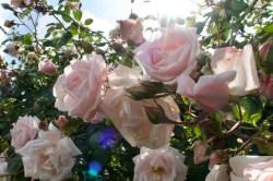 Rosen im Giardino delle Rose - Rosengarten (Florenz)