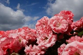 Rosen im Giardino delle Rose - Rosengarten auf dem Hügel von San Miniato, Florenz