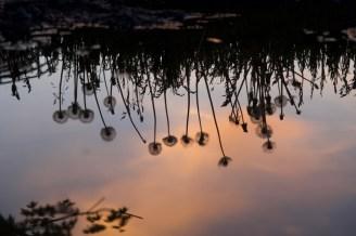 Pusteblumen spiegeln sich in einer Pfütze