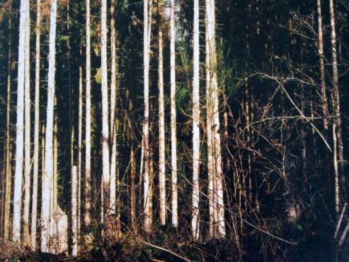 Gerade Baumstämme