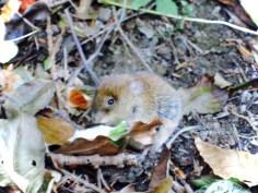 Kleine Maus auf dem Waldboden