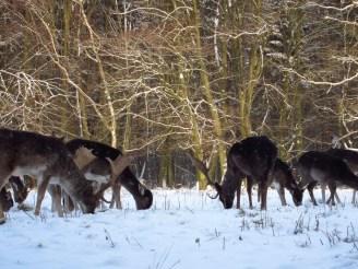 Äsendes Wild im Wald