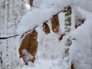 Schneebedeckter Zweig