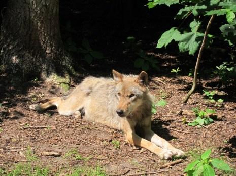 Ein Wolf - bei uns eher selten frei im Wald anzutreffen